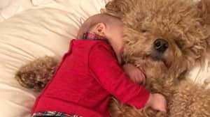 Baby Has Been Friends With Goldendoodle Pups Since He Was One Week Old