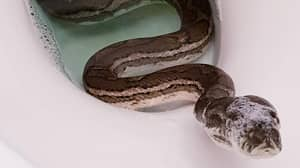 Shocked Homeowner Finds Python Having A Bath In The Toilet