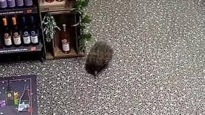 Unruly Echidna Breaks Into Alcohol Shop, Smashes Bottles And Passes Out
