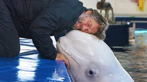 John Bishop Helps Release Two Captive Beluga Whales Into Open Waters