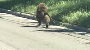 Four Clever Baboons Escaped Over The Wall At Texas Research Facility
