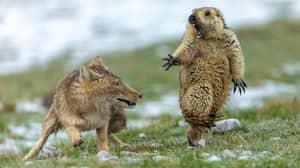 Standoff Between Tibetan Fox And Marmot Wins Wildlife Photo Of The Year Award