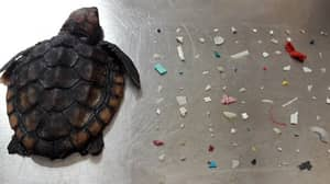 Tiny Turtle Found Dead With 104 Pieces Of Plastic In Its Intestines