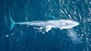 Photographer 'Speechless' Following First Ever Verified Blue Whale Sighting Off Australian Coast