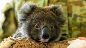 Australian Army Soldiers Use Rest Time To Care For Bushfire Koalas