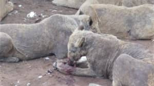 Disgusting Images Have Emerged Of Neglected Farmed Lions