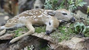 Two-Headed Deer Found By Mushroom Hunter In Minnesota Forest