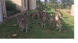 Crikey! Australia Plans To Murder Over A Million Kangaroos