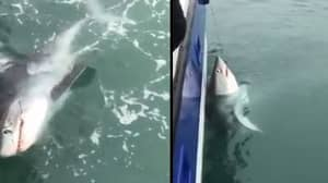 Nine-Foot Shark Is Caught Off The Coast Of Devon