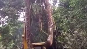 Massive Snake Has To Be Lifted Out Of Rainforest Using Digger