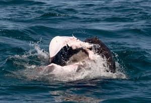 Stingray Writhes In Terror In Seal Attack