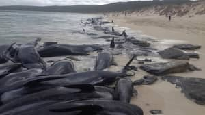Over 100 Pilot Whales Dead In Mass Stranding In Western Australia