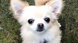 Another Pet Chihuahua Has Been Snatched By A Bird