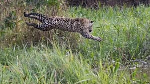 Incredible Footage Shows Jaguar Pouncing On Caiman In River 10 Feet Below