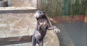 Shocking Video Shows Skeletal Sun Bears Begging For Food In Indonesian Zoo