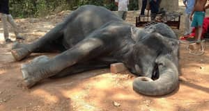 Elephant Dies From Exhaustion After Carrying Tourists For 15 Years
