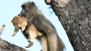 Baboon Recreates Famous Lion King Scene As It Carries Cub