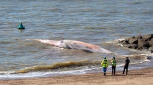 Giant 40-Foot Whale Washes Up On Essex Beach