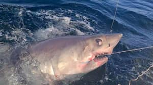 Fisherman Reels In 500lbs Porbeagle Shark Off The Coast Of Cornwall