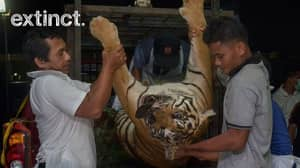 Extremely Rare Pregnant Tiger Killed After Being Caught In Pig Trap