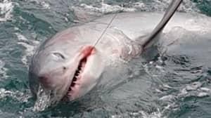 Fisherman Captures Record-Breaking Seven-Foot 'Monster' Shark Off The Coast Of Devon