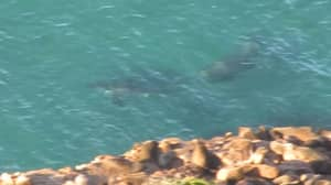 Huge Elephant Seal Chases Away Great White Shark