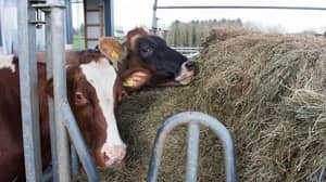 Farmer Uses Human Bra On His Cow So Calf Can Suckle