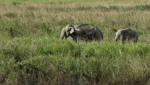 Elephant Herd Tramples Poacher To Death In India