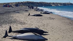 Almost 50 Dolphins Die After Becoming Stranded On An Argentinian Beach