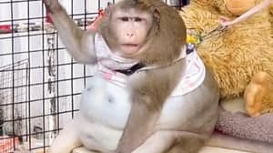 Monkey Is Severely Obese After Being Fed Junk Food By People In Market