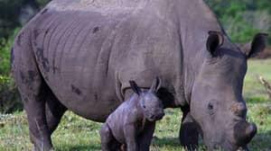 Poachers Kill Rhino For 'One Centimetre' Of Horn