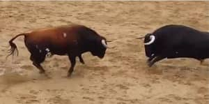 DISTRESSING FOOTAGE: Two Bulls Die After Colliding Head-On Before Bullfight