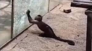 Moment Monkey Sharpens Rock And Uses It To Smash Zoo Enclosure Glass