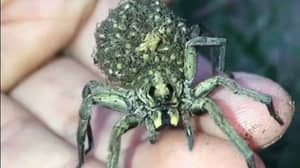 Wolf Spider Carries Hundreds Of Babies On Its Back
