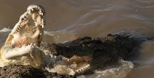 Pictures Show Crocodile Eating Zebra Whole In Kenyan Reserve