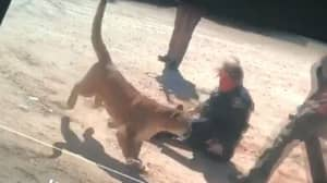 Police Officer Attacked By Mountain Lion Before It Gets Shot Dead
