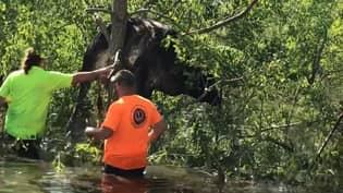 Cow Stuck In Tree After Hurricane Ida Hits Louisiana