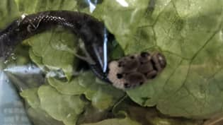 Alive Snake Found By Australian Family In Lettuce Bought From Aldi