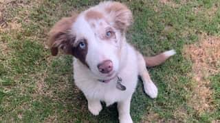 Queensland Couple Devastated After Their Beloved Puppy Was 'Stolen'