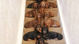 Man Takes Perfect Photo Of His 16 Sausage Dogs Lined Up