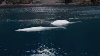 Two Beluga Whales Take First Open Water Swim After Being Rescued From Performing As Show Animals