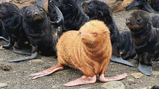 Rare Ginger Seal Pup Risks Being Shunned Over Unusual Colouring