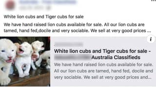 Backlash Over Advertisements Selling White Tiger And Lion Cubs To Australians