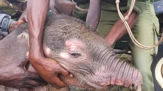 Baby Elephant Left Trunkless After Hyena Attack Has Been Rescued By Orphanage