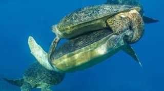 'Crazy' Sea Turtle Sex Frenzy Is Happening Off The Coast Of Australia