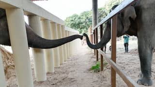 'World's Loneliest Elephant' Makes First Friend In Eight Years At New Home In Cambodia