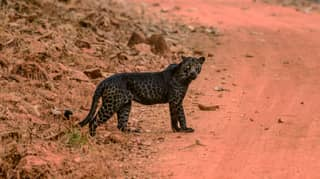 Photographer Captures Rare Black Leopard On Film