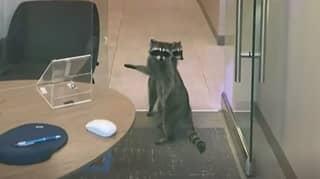 Raccoon Robbers Break Into Bank To Steal Cookies