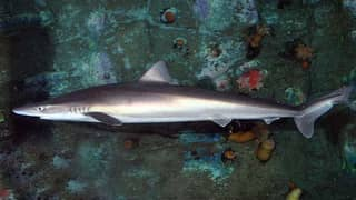 Aussie Seafood Lovers Urged To Stop Buying 'Flake' To Protect Sharks