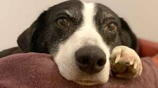 Runaway Border Collie Finally Finds A Home After 10 Years